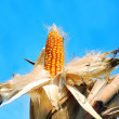Corn in autumn - Stock Photo