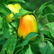 Yellow paprika - Stockfoto