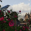 Blue Jay Among The Roses — Stock Photo