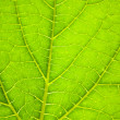 Closeup of a green leaf backlighted — Foto de Stock