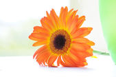 The orange Gerbera — Stock Photo
