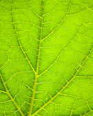 Closeup of a green leaf backlighted — Stockfoto