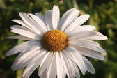 Summer daisy — Stock Photo
