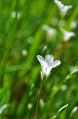 Beautiful white flower — Stock Photo