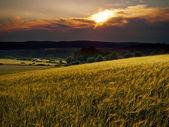 Campi di grano — Foto Stock