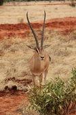 Impala in its natural habitat — Stock Photo
