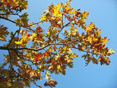 Red oak leaves on the tree branch — Stock Photo