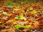 Carpet from the fallen maple leaves on the ground — Stock Photo