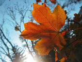 Lonely red leaf on the autumn tree — Stock Photo