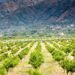 Tangerine trees orchard, Sicily — Stock Photo #7007528