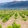 Stock Photo: Tangerine orchard with mountains on background