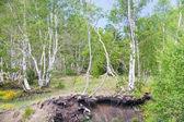 Birkenhain am sanften hang des vulkan ätna — Stockfoto