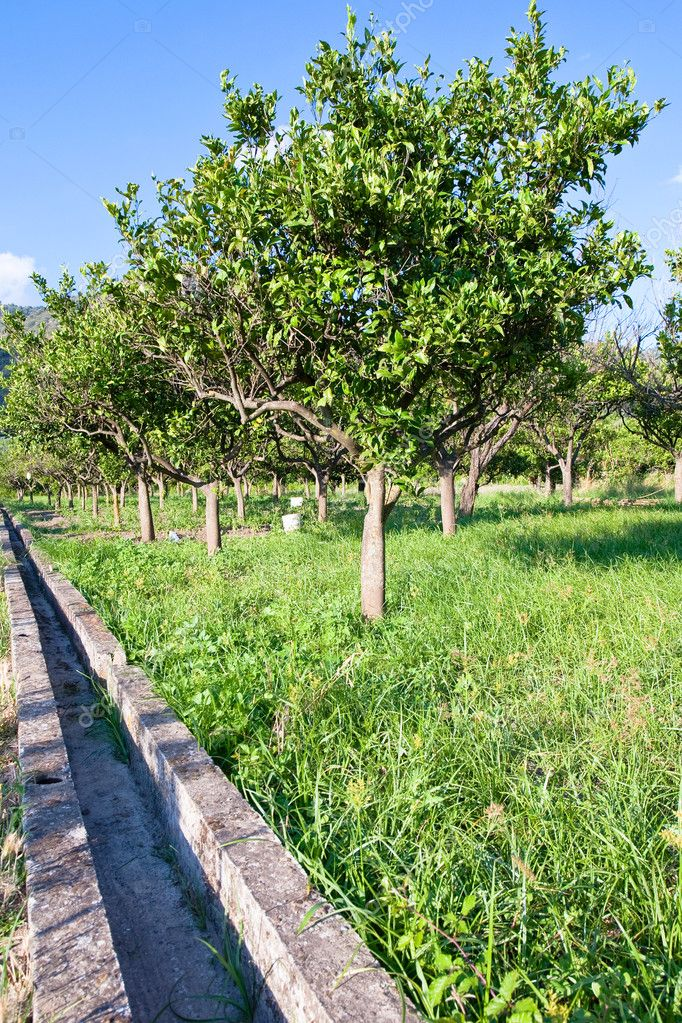 Tangerine garden and empty irrigation canal in Sicily — Stock Photo #7120392