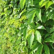 Verdant hedge — Stock Photo #7365723