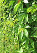Verdant hedge — Stock Photo