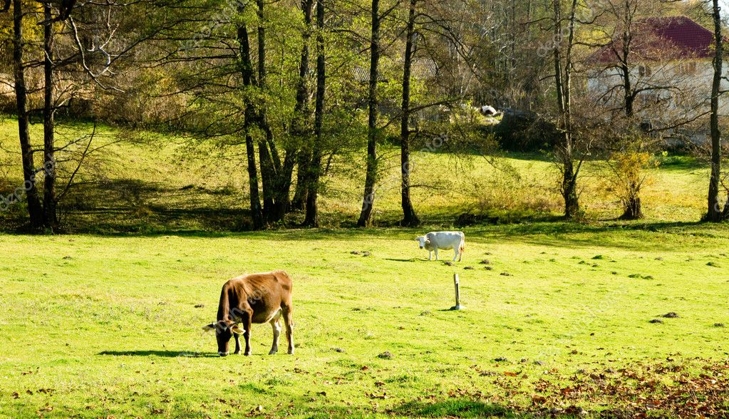 Cows grazing in the countryside near Horezu Monastery in Romania. — Stock Photo #7390855