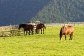 Horses, Paltinis,Romania — Stock Photo