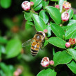 Bee blossom — Stock Photo