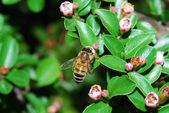 Bee blossom — Stock Photo
