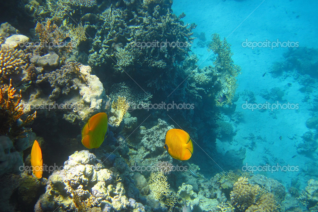 Beautiful yellow fish in the coral reef in the Red Sea — Zdjęcie stockowe #6839620