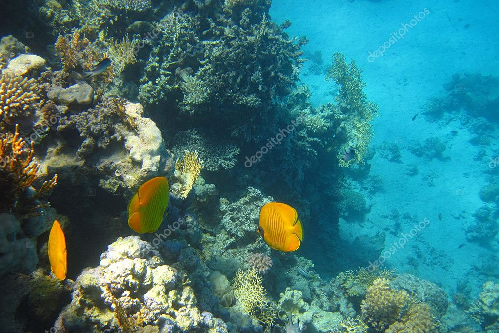 Beautiful yellow fish in the coral reef in the Red Sea — Foto Stock #6839620