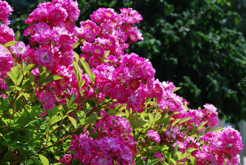 Many pink flowers in the garden and spring  Stock Photo #6863174