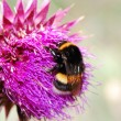 Umblebee thistle flower — Stock Photo