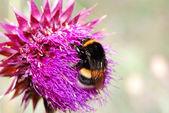 Umblebee thistle flower — Stock Photo