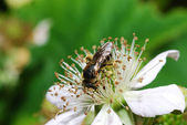 Bee sitting on blossom blackberry — Stock Photo