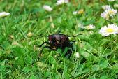 Vista frontal del escarabajo ciervo — Foto de Stock