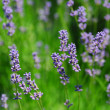 Beautiful lavender — Stock Photo