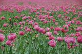 Lots of poppy — Stock Photo