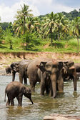 Elepants bathing — Stock Photo
