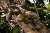 Double coconut — Stock Photo