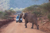 African elephant (Loxodonta africana) — Stockfoto