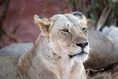 African lioness (Panthera leo) — Fotografia Stock