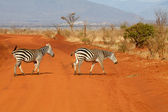 Plains zebras (Equus burchellii) — Foto Stock
