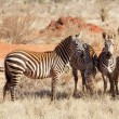 Plains zebras (equus burchellii) — Stock Photo #7400897