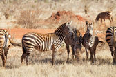 Plains zebras (equus burchellii) — Stock Photo