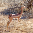 Stock Photo: Gerenuk (Litocranius walleri)