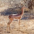 Gerenuk (Litocranius walleri) — Stock Photo #7443901