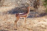 Gerenuk (Litocranius walleri) — Stock Photo