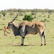 Common Eland (Tragelaphus or Taurotragus oryx) — Stock Photo