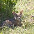 Young balck-backed jackal (canis mesomelas) - Stock Photo