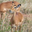 Female impala (Aepyceros melampus) — Stock Photo