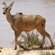 Greater kudu (Tragelaphus strepsiceros) female and red-billed ox — Stock Photo