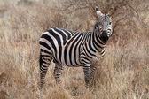 Plains zebra (Equus burchellii) — Stock Photo