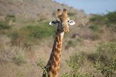 Giraffe (Giraffa camelopardalis) — Stockfoto