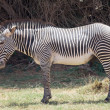 Stock Photo: Grevy's zebr(Equus grevyi)