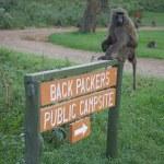 ������, ������: Savanna baboon olive race Papio cynocephalus anubis